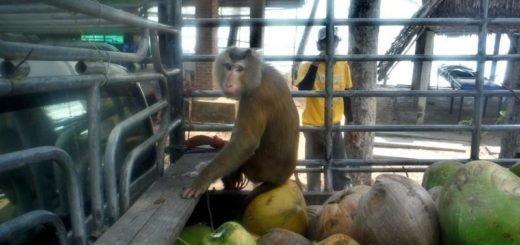 Как собирают кокосы в Таиланде